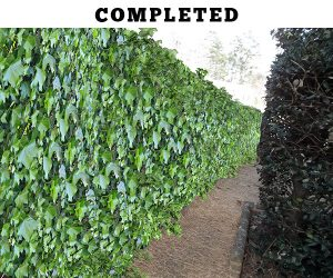 Retaining Wall Repair - ivy covered